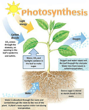 How plant photosynthesis cleans and cools the air
